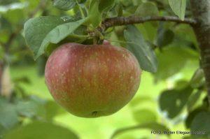 Sensommerens æble fra eget æblettræ