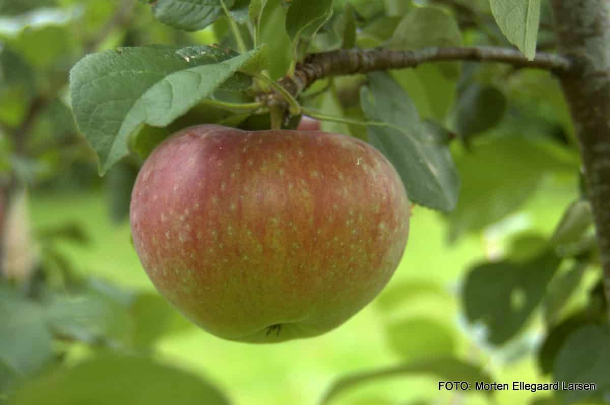 Har du været på æblerov med dit barn?