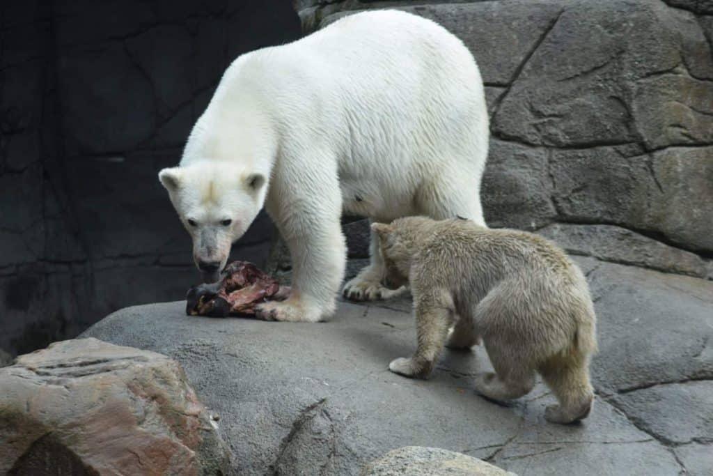 Isbjørn med unge