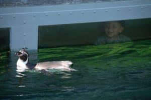 Pingvin med dreng i vindue