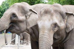 Elefanter, Hamborg Zoo -