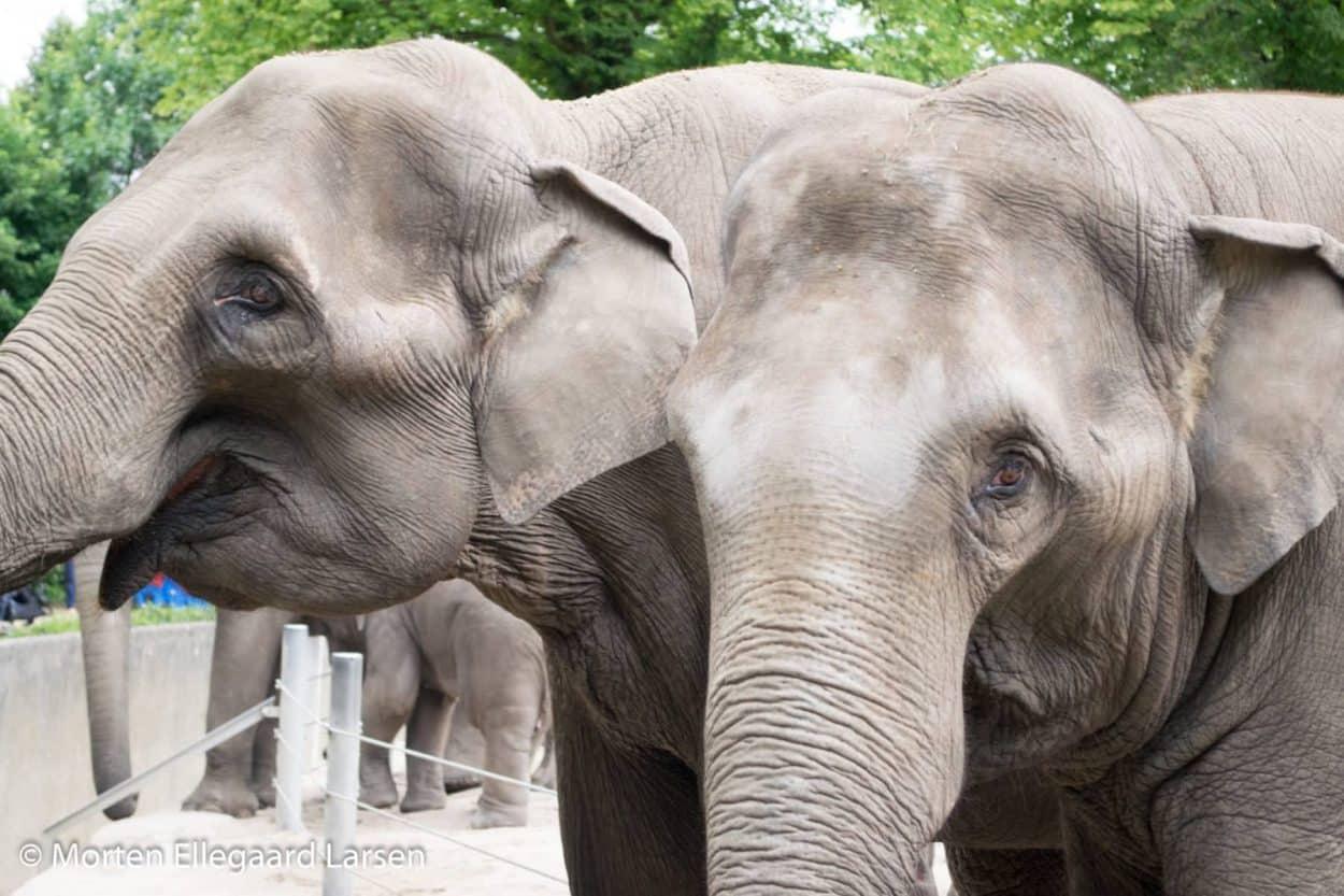 "Elefanter, Hamborg Zoo - [exif id=""1879""]"