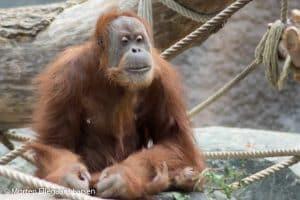 Orangutang, Hamborg Zoo -