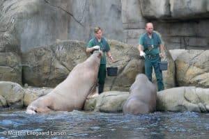 Hvalros, Hamborg Zoo -