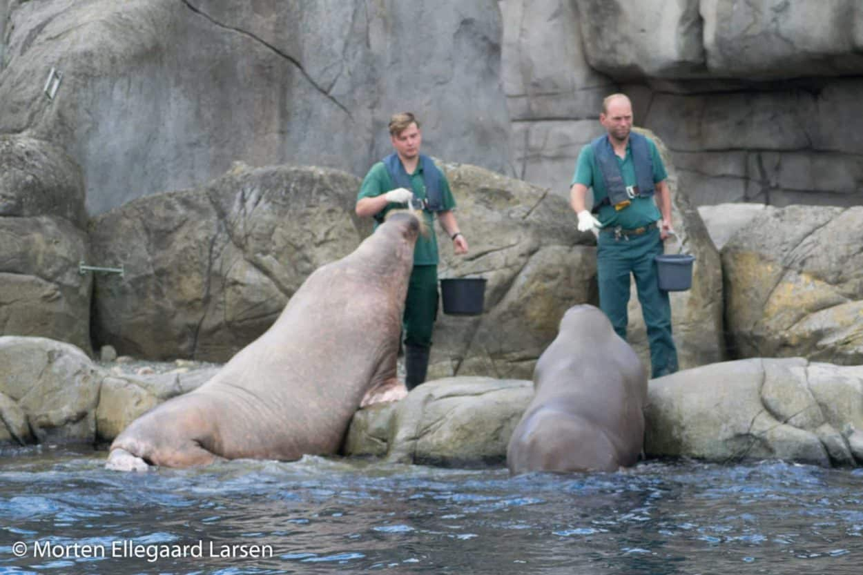 "Hvalros, Hamborg Zoo - [exif id=""1885""]"