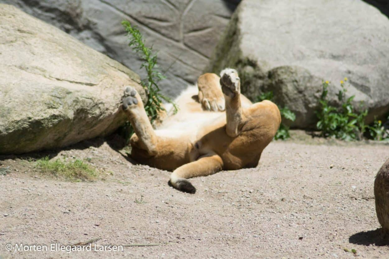 Løve, Hamborg Zoo