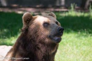 Kamtjatka bjørn, Hamborg Zoo